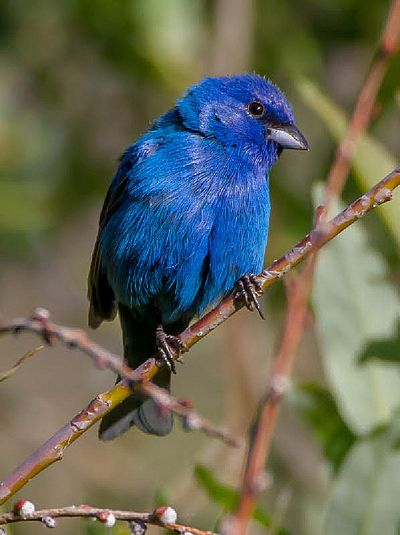 Image - Indigo Bunting (Photo by Jeff Bixler)