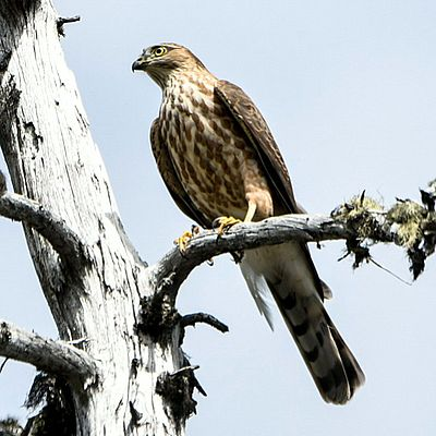 Image - Juvenile Sharp-shinned Hawk perched in a snag along the trail (Photo by Ross Bornfleth)