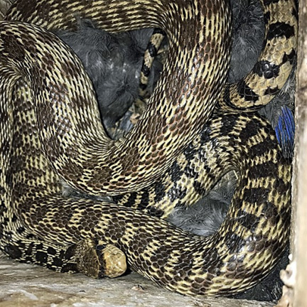 Image - Pacific Gopher Snake in Bluebird Box 65 - Denny Granstrand